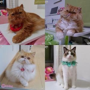 【猫の特技動画】うちの5匹の猫達の特技!猫で癒されたい方は見てください!補足:猫好きなDaigoの炎上にみる見解!と急増するSNS疲れについて