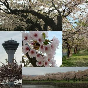 函館観光・赤レンガ倉庫、五稜郭の桜