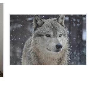 【最強動画strongest Video】狼関連動画・Wolf Related Videos