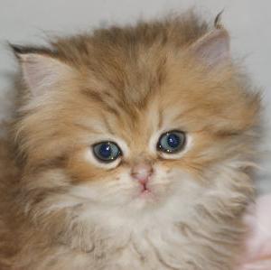 ペルシャ猫ブリーダー情報!宮城県ペットショップ