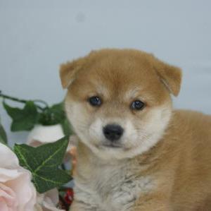 【柴犬】あか/宮城石巻市近郊で探す/ペット子犬