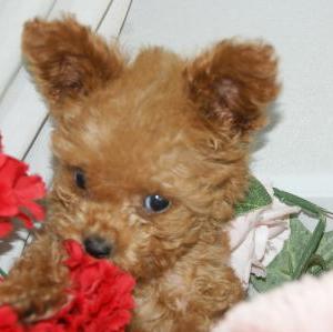 ★極小トイプー子犬★仙台市青葉区近郊で探す/宮城