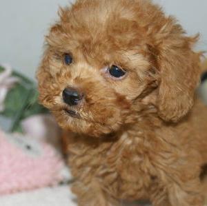 トイプードル子犬/名取市近郊で探すなら/宮城