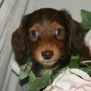 宮城県利府町で≪Mダックス≫子犬を探すなら