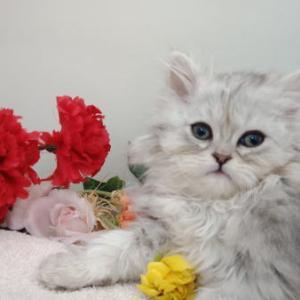 涌谷町《ねこ》/ペルシャ★チンチラ/ペット子猫