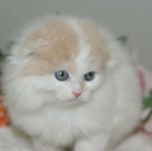 仙台市「猫」/スコティシュフォールド/宮城県