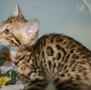 ベンガル子猫値下げしました/宮城ペットショップ