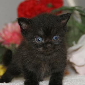 黒いアメショー産まれました/宮城県猫ブリーダー