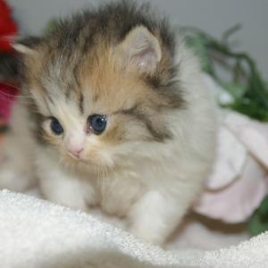 今1番欲しい子猫/ミヌエット/宮城ブリーダー