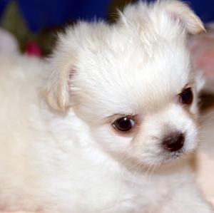山形県でミックス犬を探すなら/宮城県ペットショップ