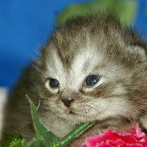 マンチカンの赤ちゃんがいっぱい!/宮城猫ブリーダー
