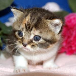 宮城県大河原町近郊で探す/スコティッシュフォールド子猫なら