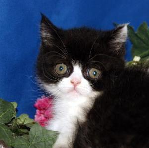 仙台市近郊ペットショップ/エキゾチックショートヘアー子猫