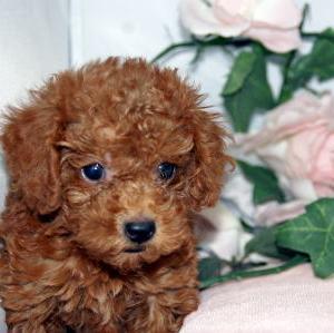 福島県でトイプードルを探す/宮城県ペット子犬