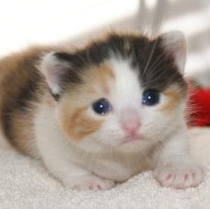 【マンチカン】子猫を塩釜市近郊で探す/宮城ペット