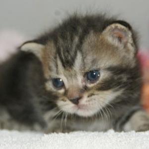アメショー子猫を富谷市近郊で探す/宮城ペットショップ