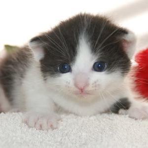 ◆マンチカン◆子猫/半額セール!今だけ!/宮城県