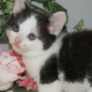 【マンチカン】子猫が安い店を岩手県近郊探す/宮城ペットショップ
