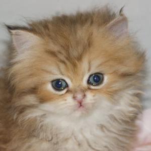 地域最安値を目指して【ペルシャ猫】/宮城県猫専門ブリーダー