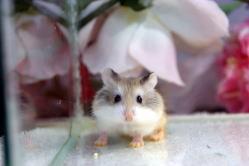 多頭飼育が出来るロボロフスキーハムスター/宮城ペット小動物
