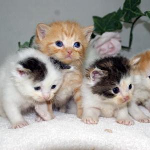 ★スコティッシュ猫★/子猫低価格!/宮城ブリーダー