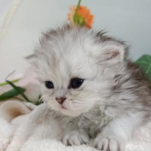宮城【ペルシャ】猫ブリーダーを探す