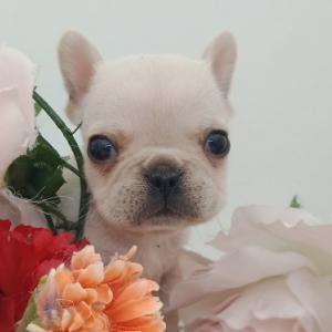 名取市で子犬を探す/【フレンチブルドッグ】/子犬販売