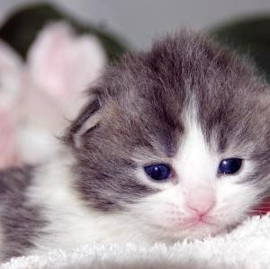 スコティッシュフォールド子猫/宮城県ペットショップ