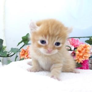 仙台市近郊ペットショプ/アメリカンカール子猫