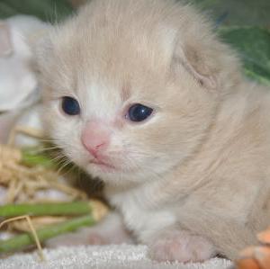 人気の子猫が7万円~/宮城県猫ブリーダー
