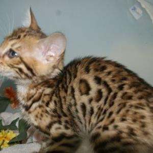 宮城県多賀城市で子猫を探す/ベンガル子猫を探す