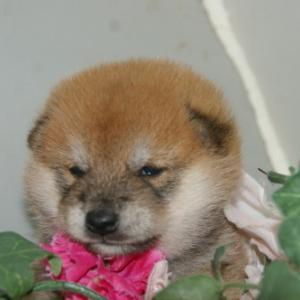 おっとり柴犬をお探しなら/宮城子犬ペット