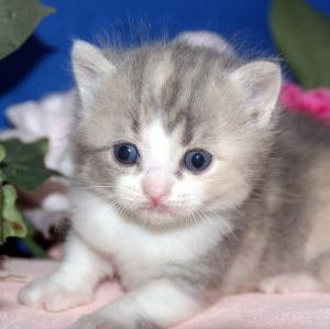 仙台市近郊ペットショップ/スコティッシュフォールド子猫