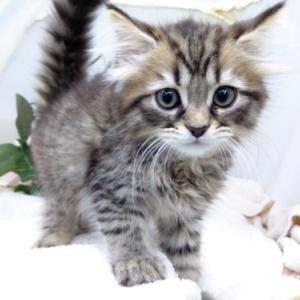 宮城県角田市で《ラガマフィン》子猫を探す