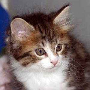 ノルウェージャン子猫多数/宮城ペット子猫