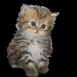 宮城県ペットショップで子猫をお探しなら