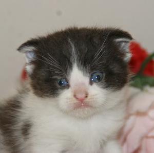 初心者でも安心【スコティッシュ子猫】を探す/宮城角田市近郊のペットショップ