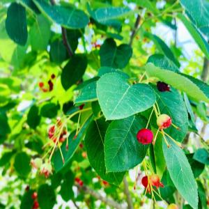 今年もジューンベリーの収穫期