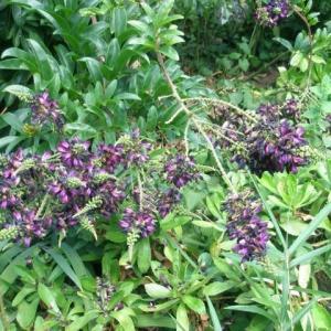 夏に咲く藤の花 「サッコウフジ」