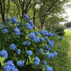 笠置キャンプ場での紫陽花。