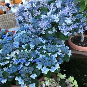 パン屋の紫陽花