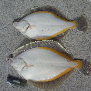 南茅部カレイ釣りへ やっと水温上がったかな?