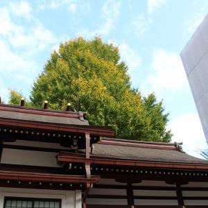 色付きはまだ…、白龍神社のイチョウの木