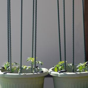 ベランダ園芸 ミニトマト