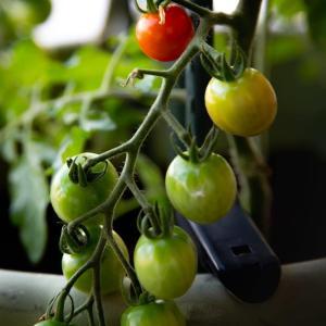 ベランダ園芸;ミニトマト