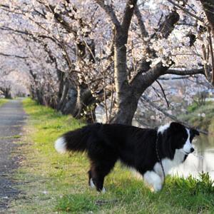 桜のトンネル2020