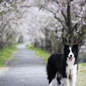 桜も散り始めました。