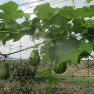 サトイモ収穫