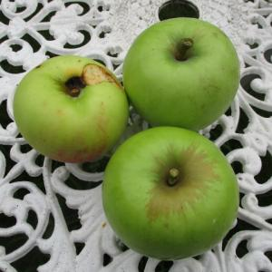 愈々リンゴの季節 & コンニャク、サトイモ他