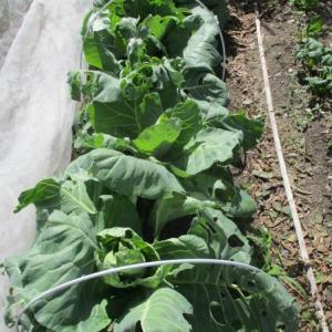 キャベツ虫食い & 玉ねぎ種蒔き